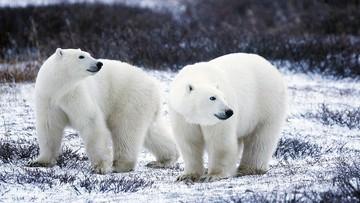 Rosja: inwazja białych niedźwiedzi sparaliżowała życie miasteczka