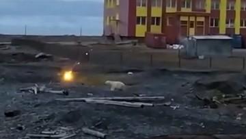 Niedźwiedź polarny przegoniony racami z pobliża szkoły. Drapieżniki nie mają gdzie polować