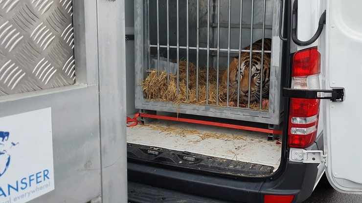 Tygrysy z Polski dotarły do azylu w Hiszpanii. Czują się dobrze