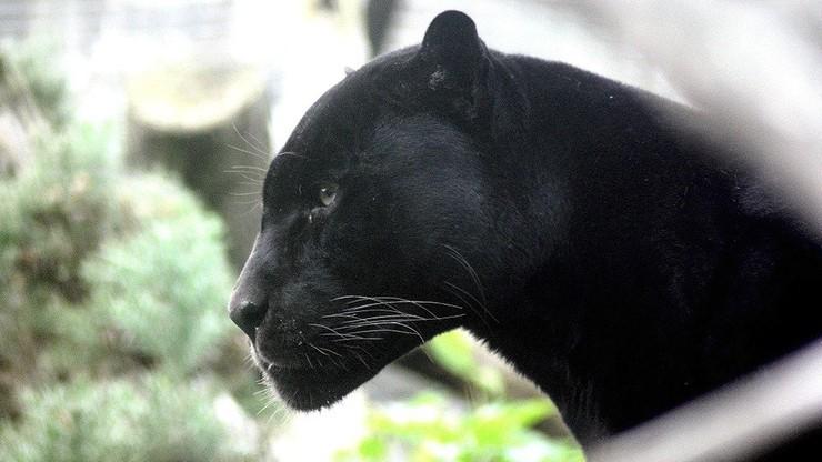 Czarna pantera grasuje koło Granady. Ludzie nie wychodzą wieczorami z domów