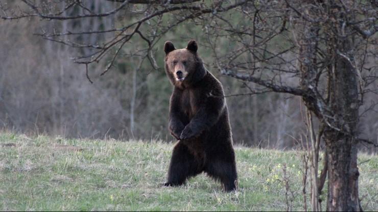 W górach grasują niedźwiedzie. Turyści i pszczelarze muszą mieć się na baczności