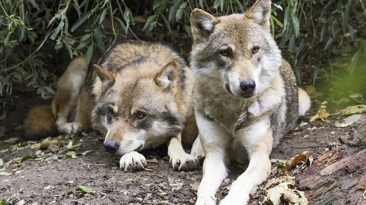 Rolnicy ze Śląska gotowi do obrony przed atakami wilków i niedźwiedzi