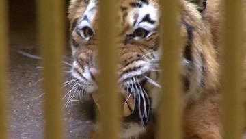 """Kara za dobre serce - """"Państwo w Państwie"""" o tygrysach zatrzymanych na białoruskiej granicy"""