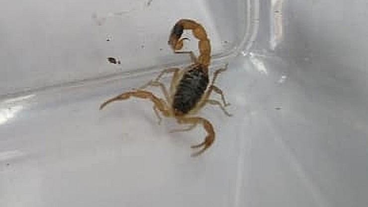 Żywy skorpion w sklepie odzieżowym w Toruniu