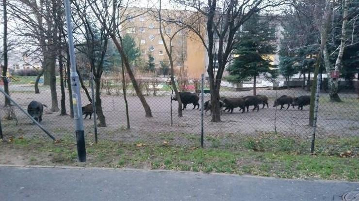 Dziki wtargnęły na teren przedszkola w Poznaniu