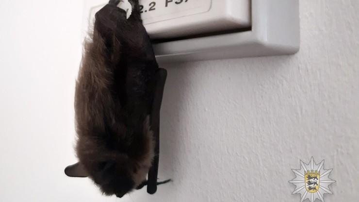 """""""Strażnik jasności"""" na komisariacie. Nietoperz zasnął na włączniku od światła"""