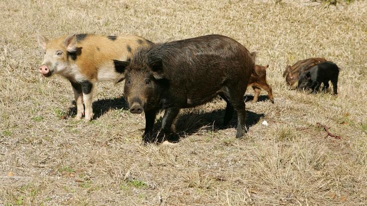 """Stado dzikich świń zabiło 59-latkę. """"Jedna z gorszych rzeczy, jaką w życiu widziałem"""""""
