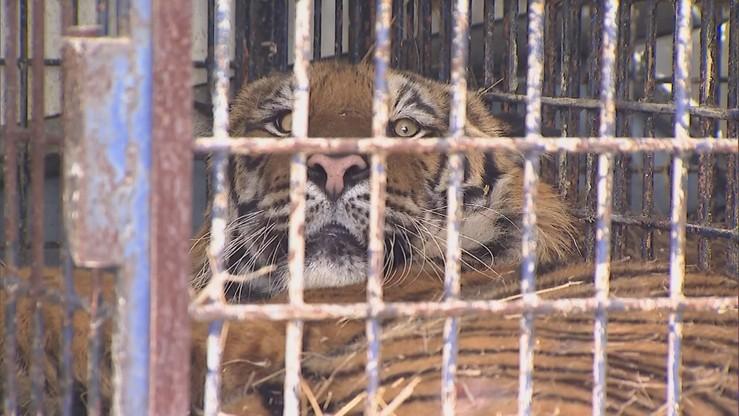 Dobre wieści z poznańskiego zoo. Poprawił się stan czterech tygrysów