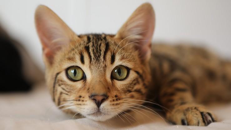 Kot zakażony koronawirusem. Zaraził się od swojej właścicielki