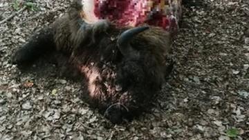 Leśniczy skłusował żubra i wyciął 80 kg mięsa. Stanął przed sądem